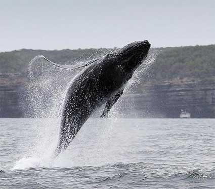 whale-breaching.jpg