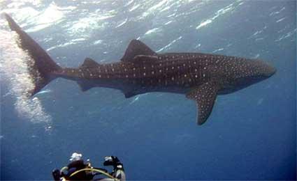 whale-shark.jpg